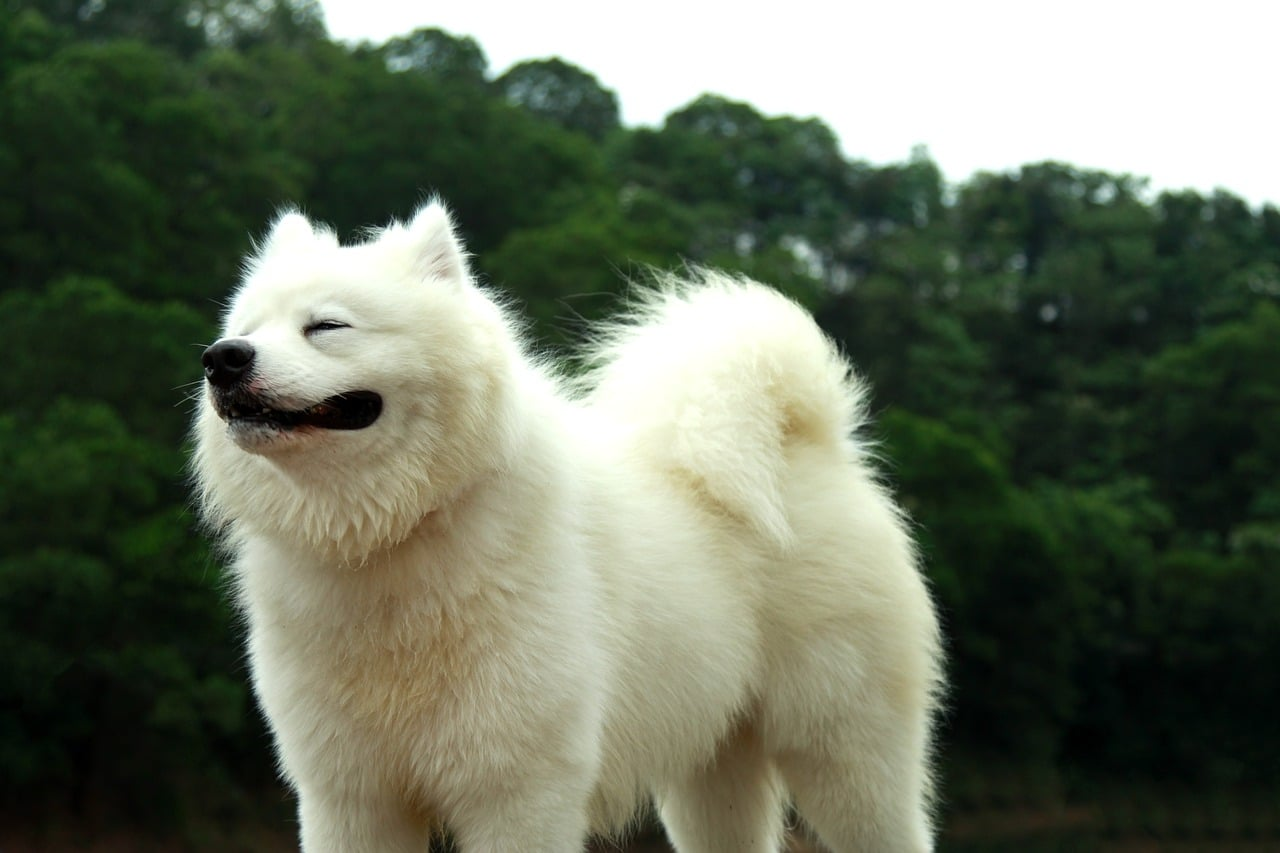 Samoyed Puppies Everything You Need To Know About The Ultimate Snow Dog The Dog People By Rover Com