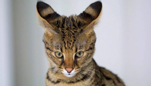 9 Surprising Facts About Savannah Cats