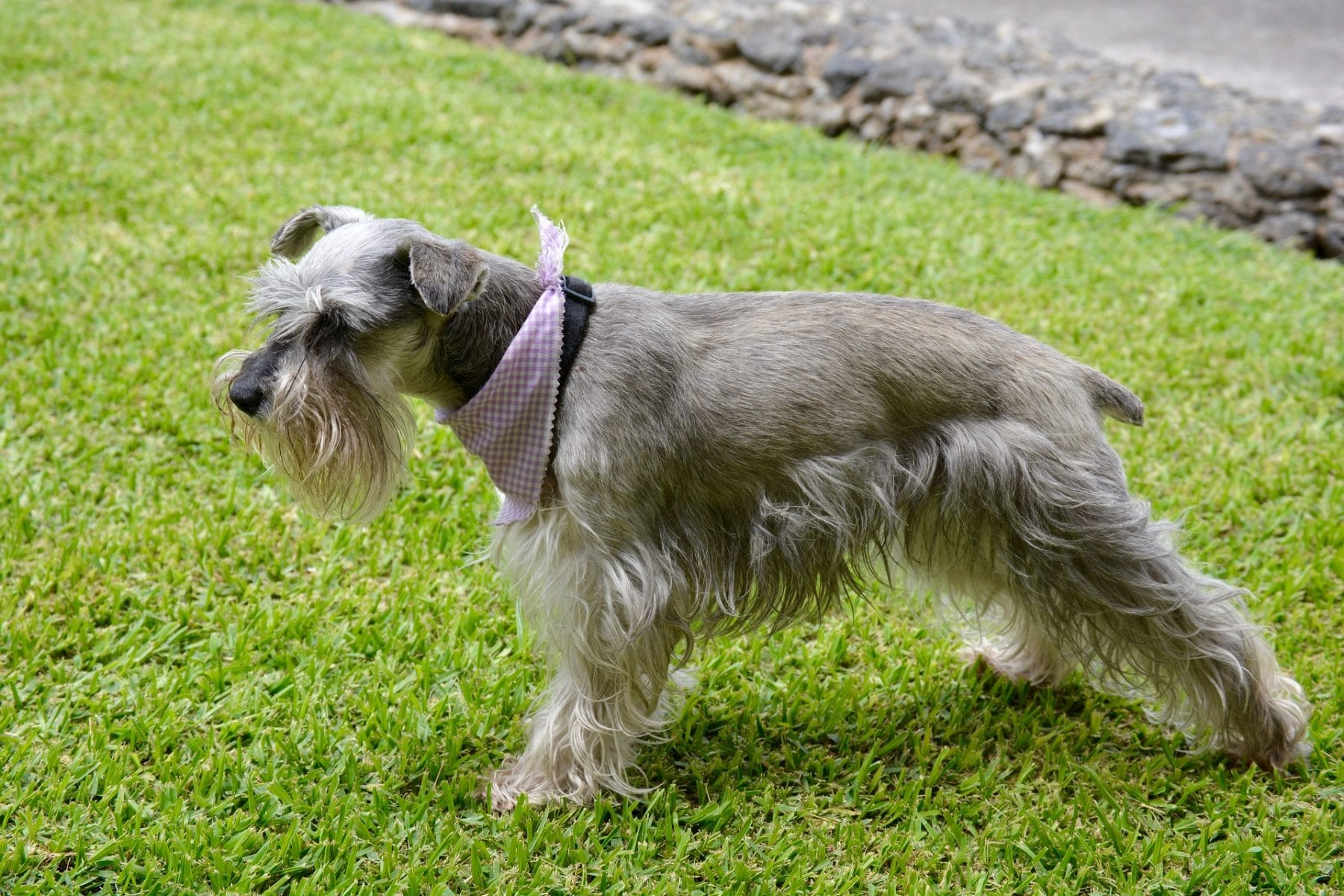 Schnauzer Hair Cuts Style Ideas With Photos And Grooming Tips