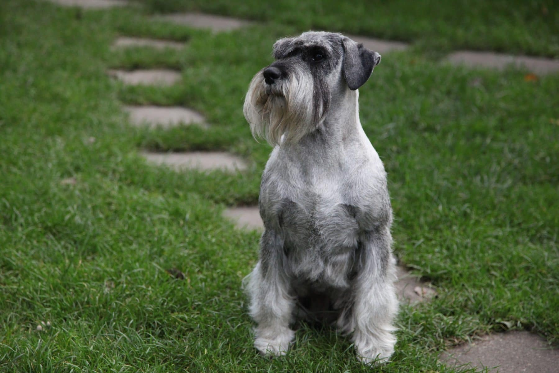Schnauzer Hair Cuts Style Ideas With