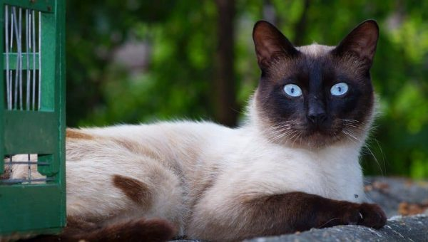 10 Facts Only Real Fans of the Siamese Cat Know