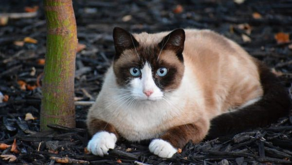 10 Surprising Facts About Snowshoe Cats