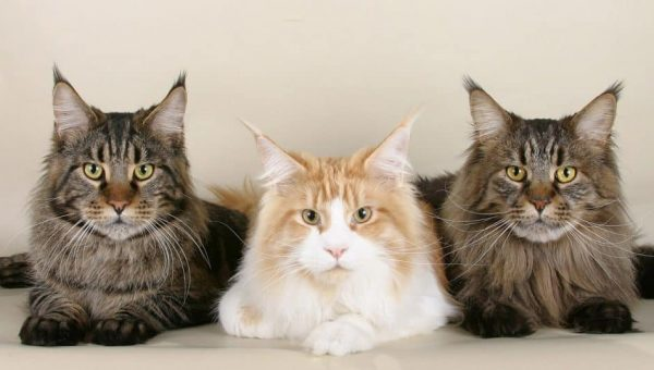 11 Surprising Facts About Maine Coon Cats