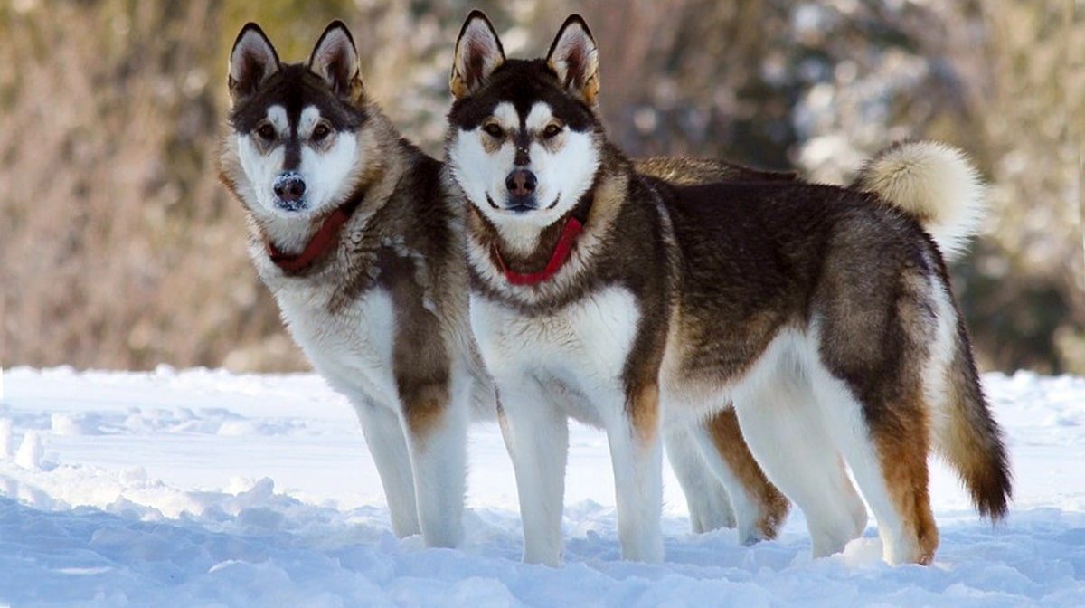 Top 111 Alaskan Malamute Names The Dog People By Rover Com