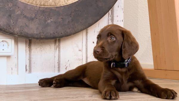 Labrador retriever: Allt du behöver veta