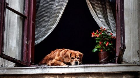 dog at home in window