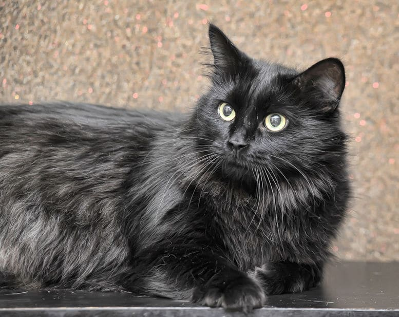 Black Cat Breeds 11 Breeds With Gorgeous Dark Coats