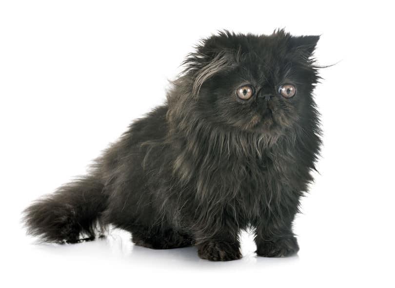 Black Persian kitten- 123RF