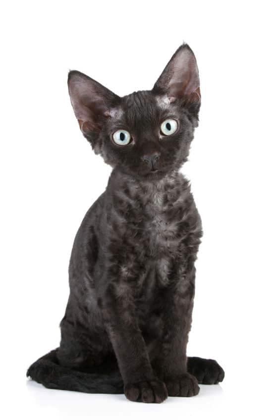 Devon-Rex breed black cat- 123RF