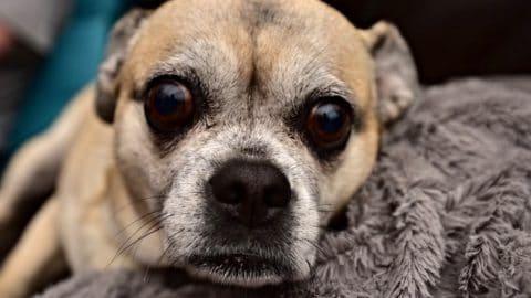 Old pug up close