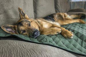 German Shepherd sleeping on FurHaven ThermaNap self-heated dog blanket