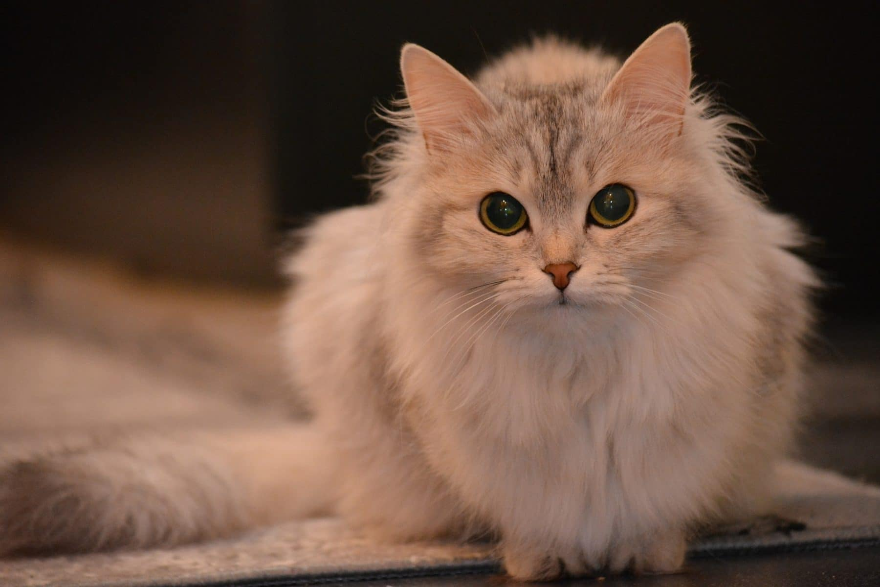 The Cutest Cat Breeds 14 Cats You Ll Definitely Want To Snuggle
