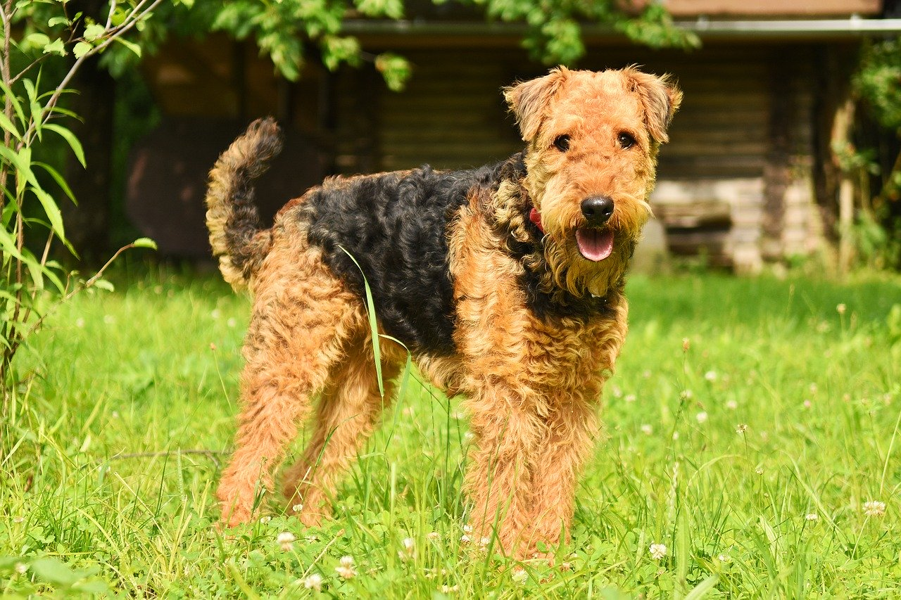 Airedale Terrier Grooming The