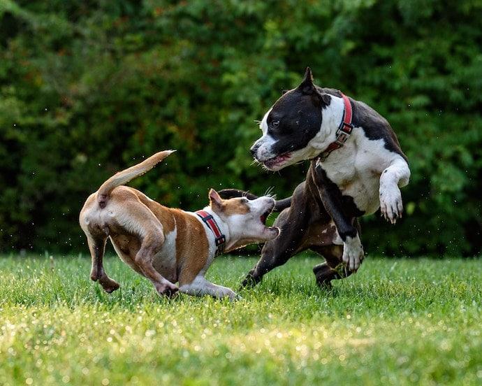 chiens en train de se bagarer