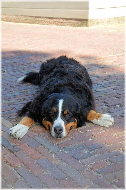 Lazy Bernese Mountain Dog - Pixabay