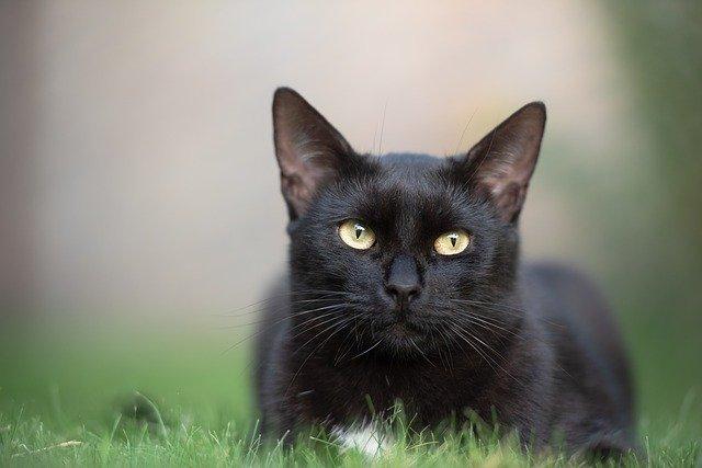 Black Cat - Pixabay