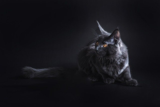 Maine Coon Cat - Pixabay