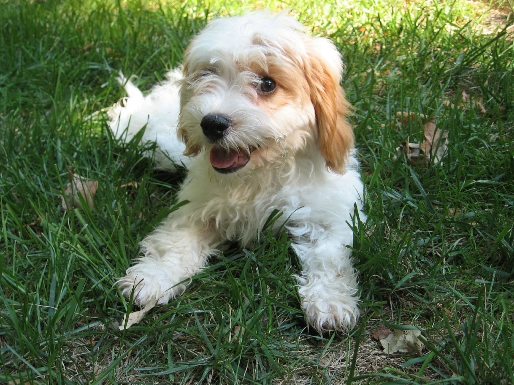 Cavapoo Haircuts The Essential Guide With Pictures Of Haircut Styles