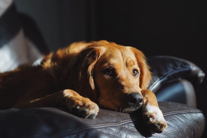 chien triste allongé sur le canapé
