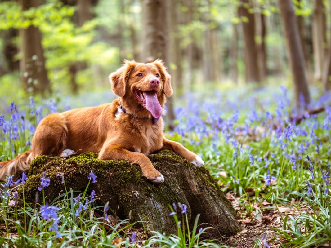 A brown dog sitting on a boulder in the forest.