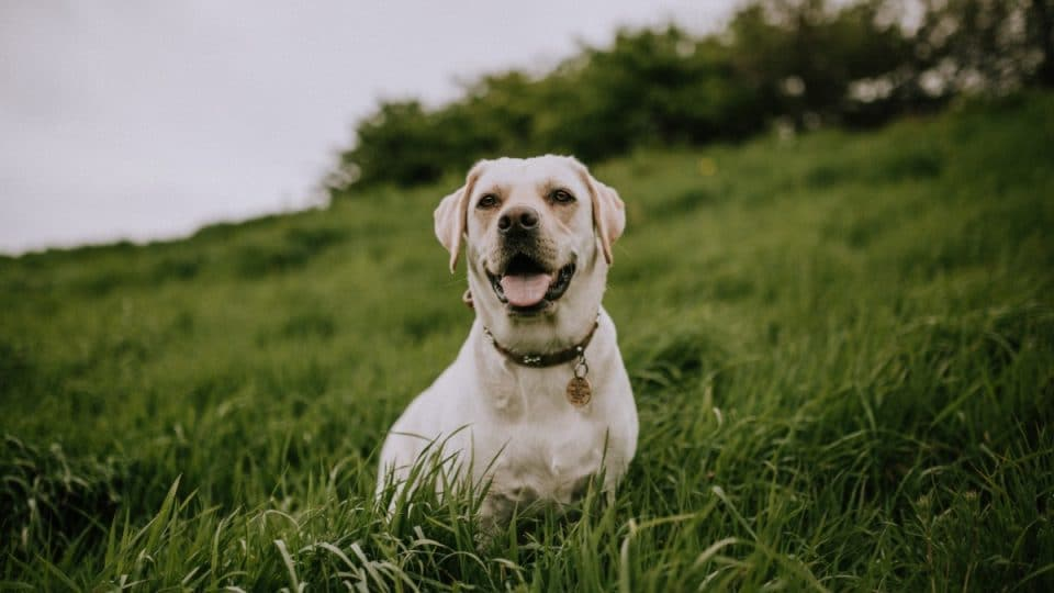 A Yellow Lab sitting in a grassy field.