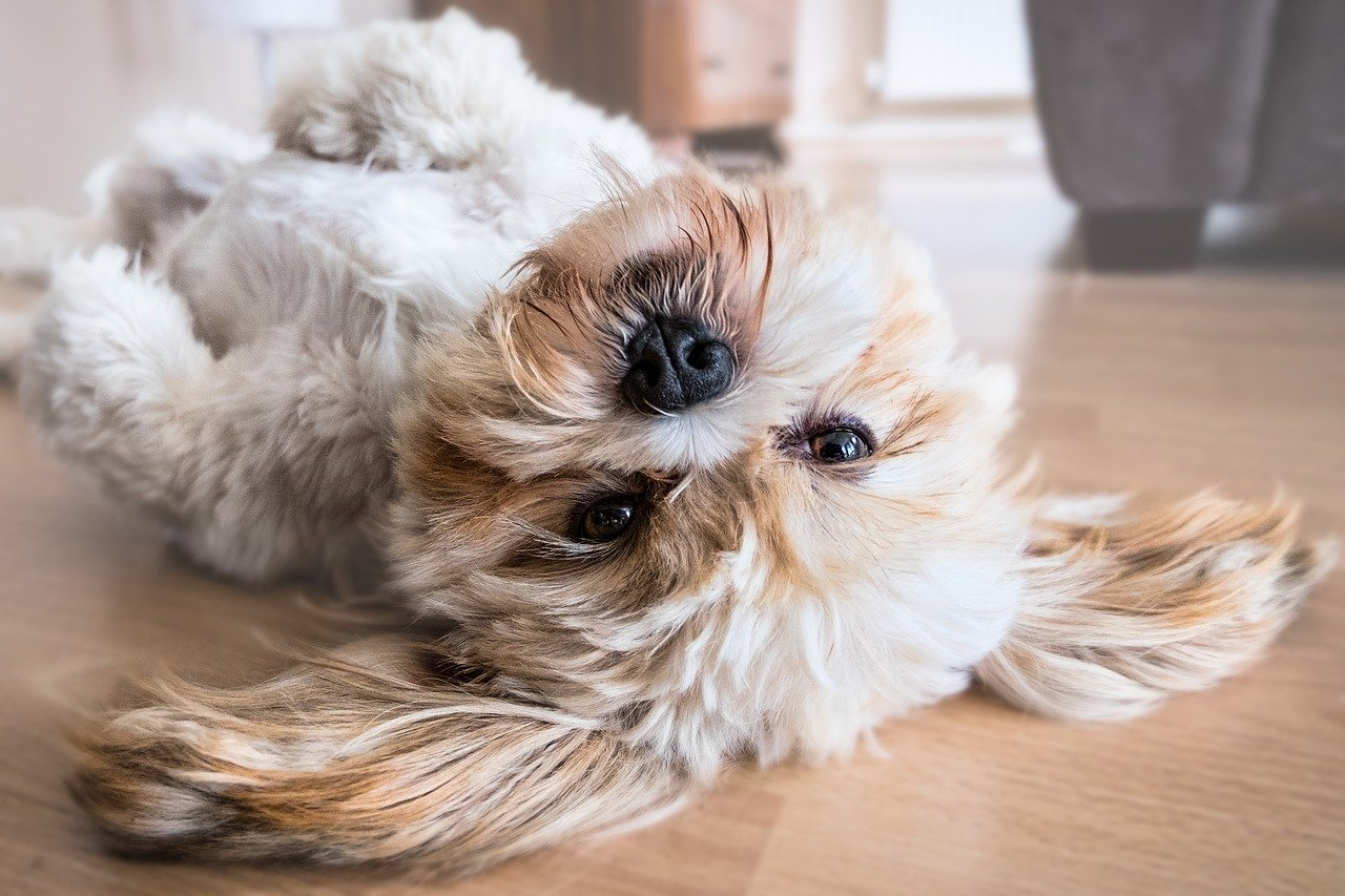 A small dog laying on a wood floor.