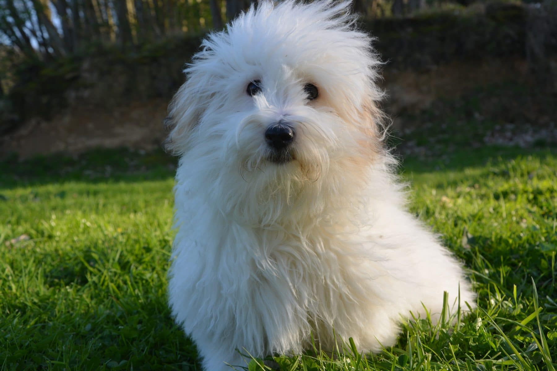 Coton De Tulear Grooming The Essential