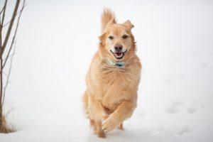 running dog snow
