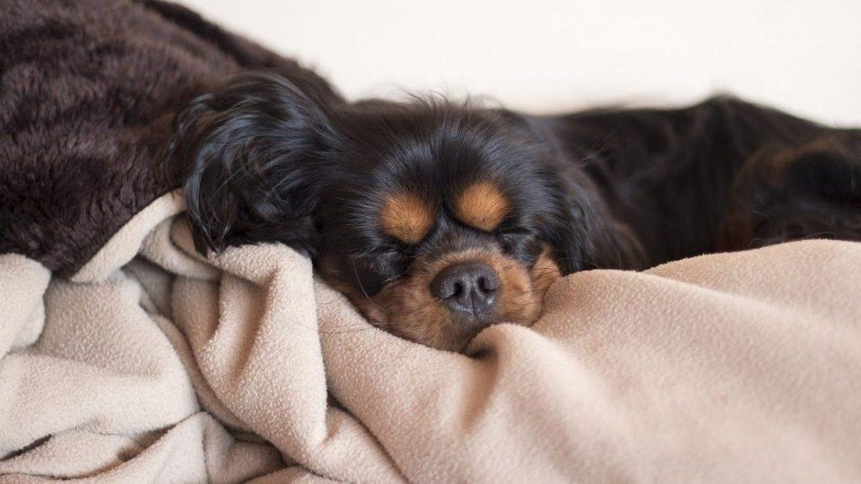 dog snuggled into blanket