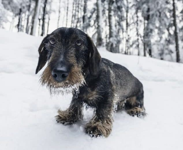 A small black dog is covered in snow and ice