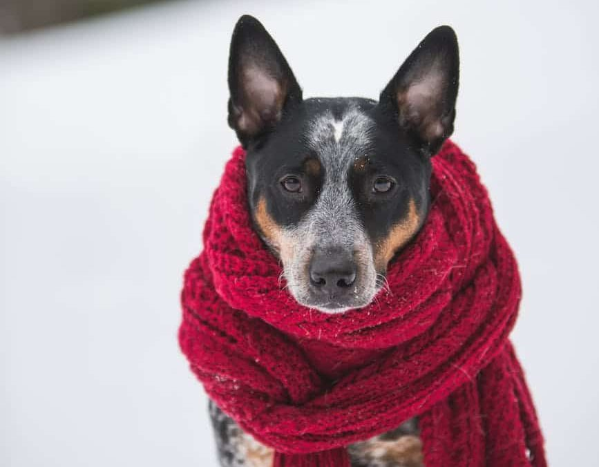 A dog in a scarf in the snow. Keeping your dog warm can prevent dog hypothermia.