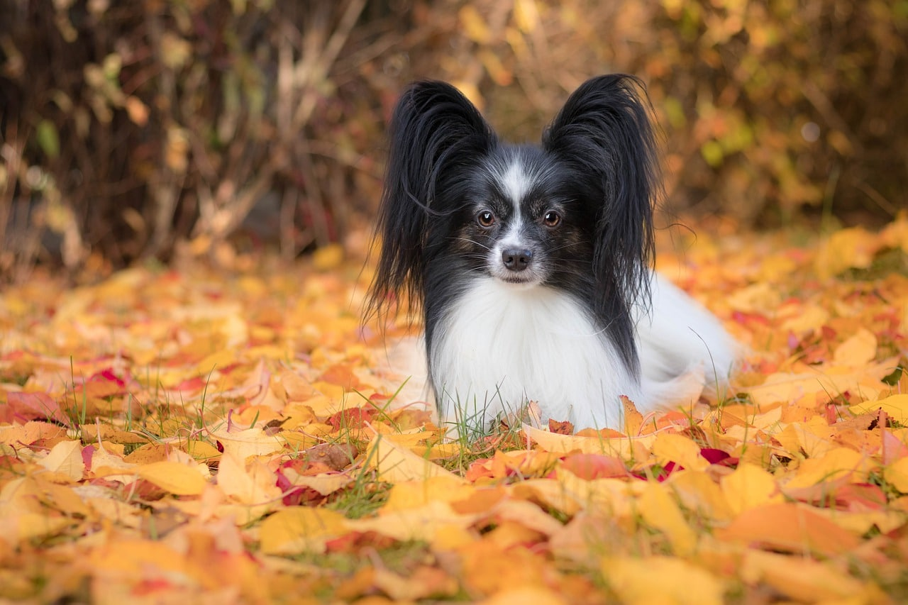 Papillon Haircuts: Photos of Haircut Styles Plus Tips for Bathing