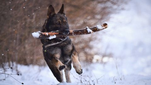 dog running with stick in snow