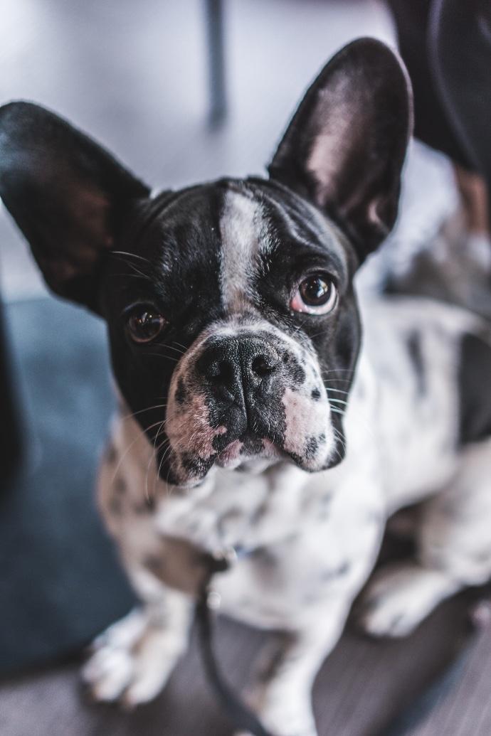 Come, quando e perchè bisogna pulire le orecchie del cane