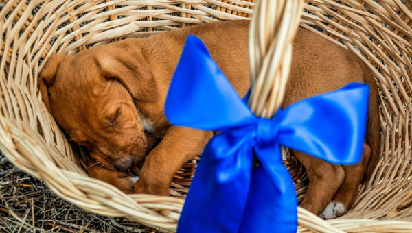 Is There a Right Way to Give a Puppy as a Gift?