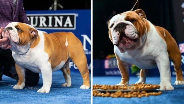 Meet Thor, America's Top Bulldog, Who Took Home 'Best in Show'