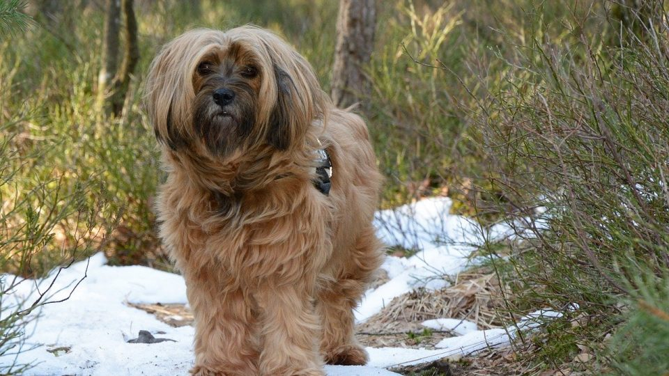 Tibetan Terrier Grooming Haircut