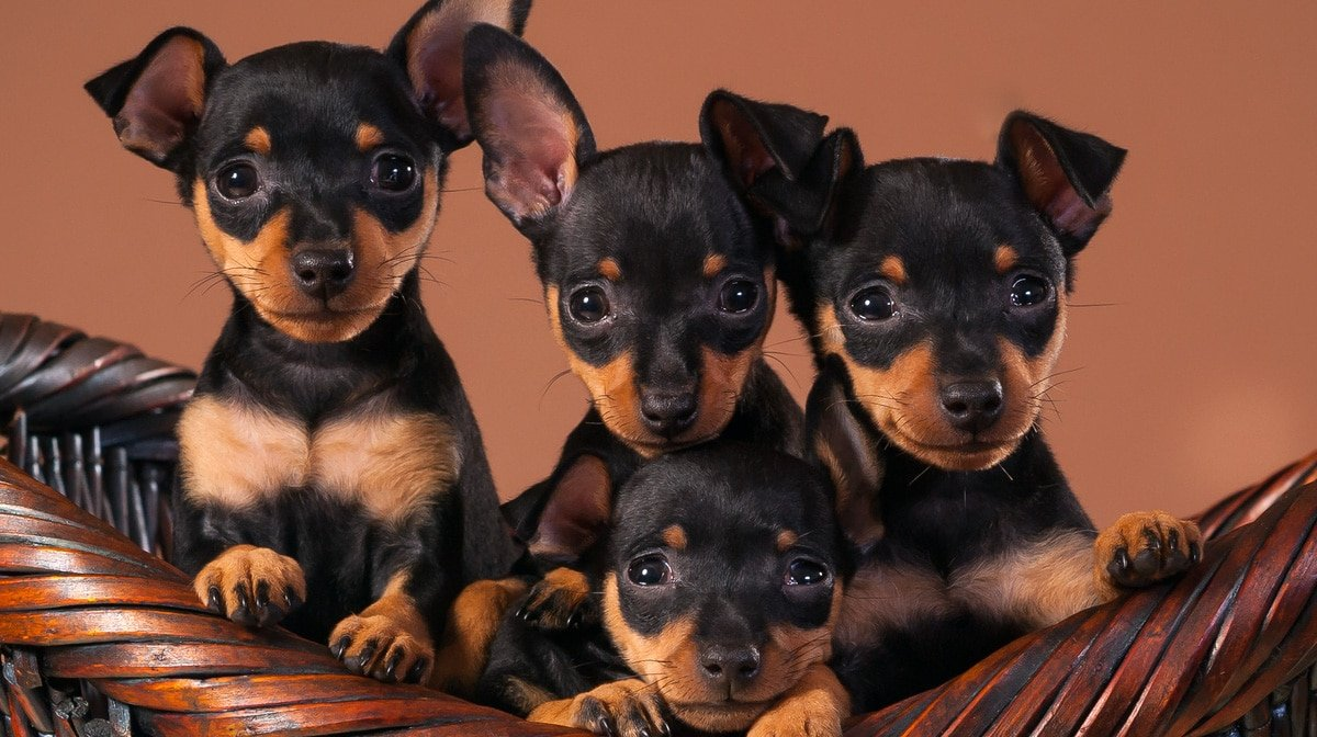 Top 103 Miniature Pinscher Names Of The Year The Dog People By Rover Com