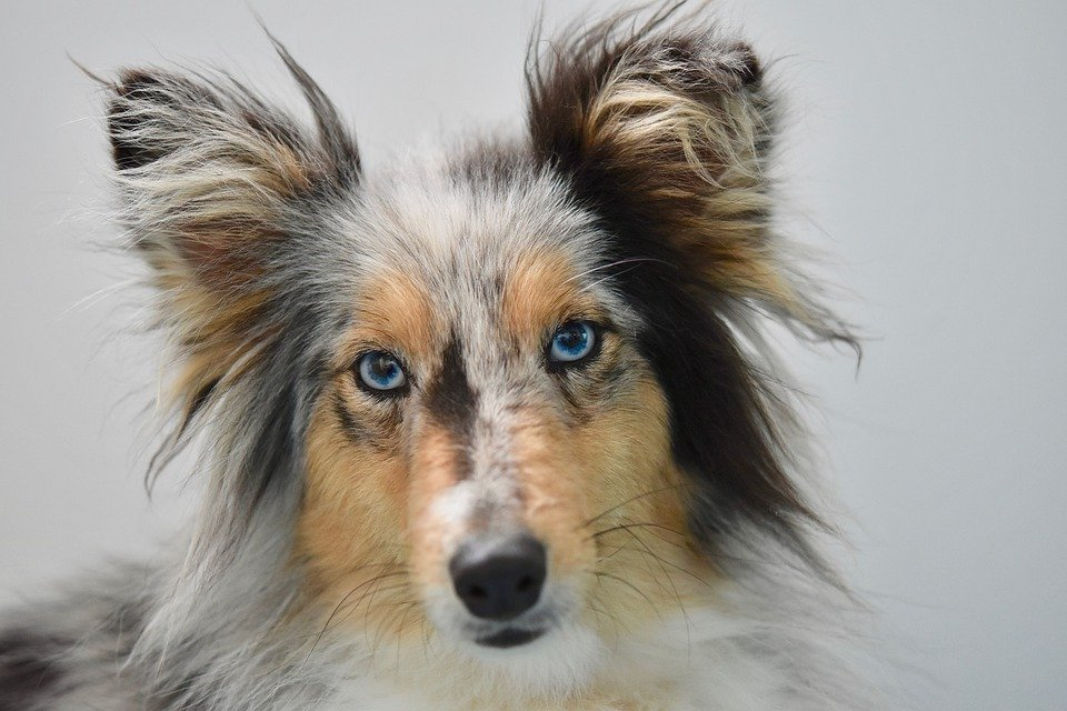 A merle Sheltie that needs a unique female dog name stares into the camera