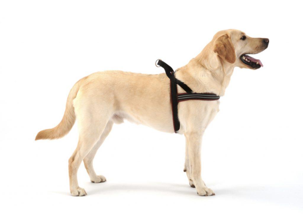 dog wearing black ComfortFlex harness