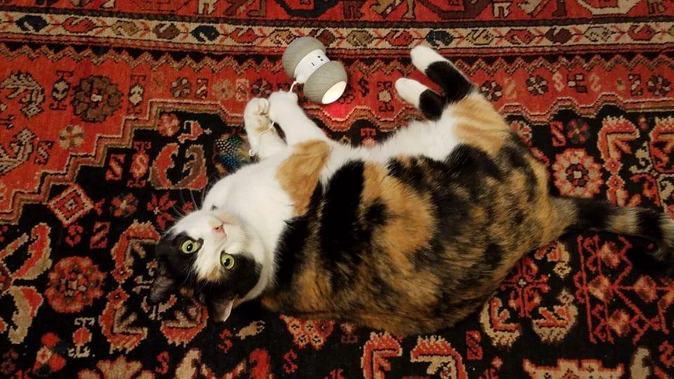 A Petdroid Boltz Robotic Cat Toy Review