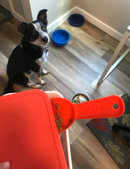 Enzo awaiting his Ollie dog food