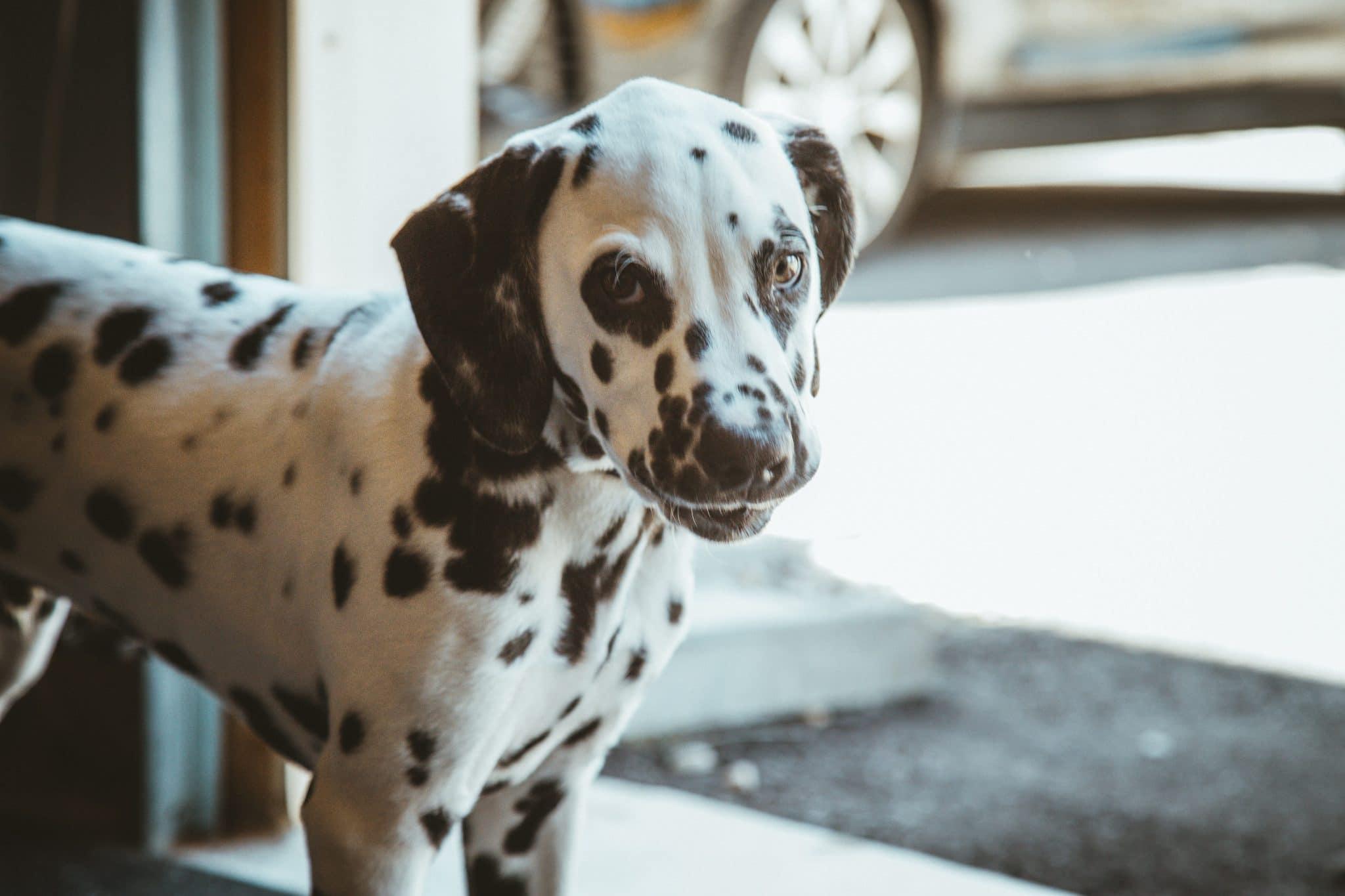 Dalmatian Puppies A Comprehensive New