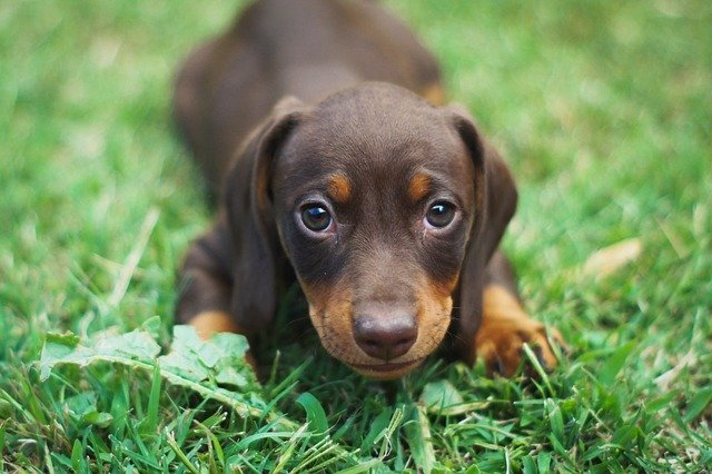 Top 150 Dachshund Names The Dog