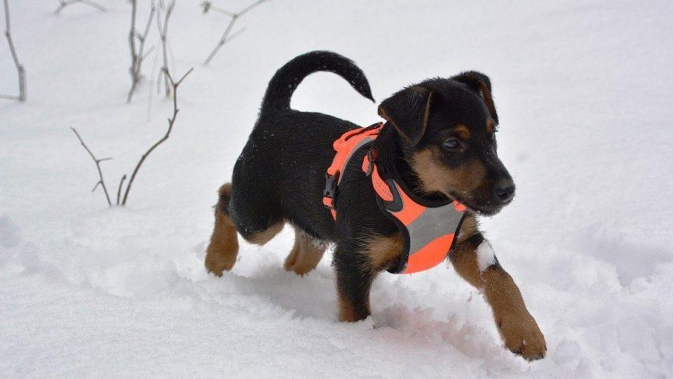 puppy wearing vest, running in snow