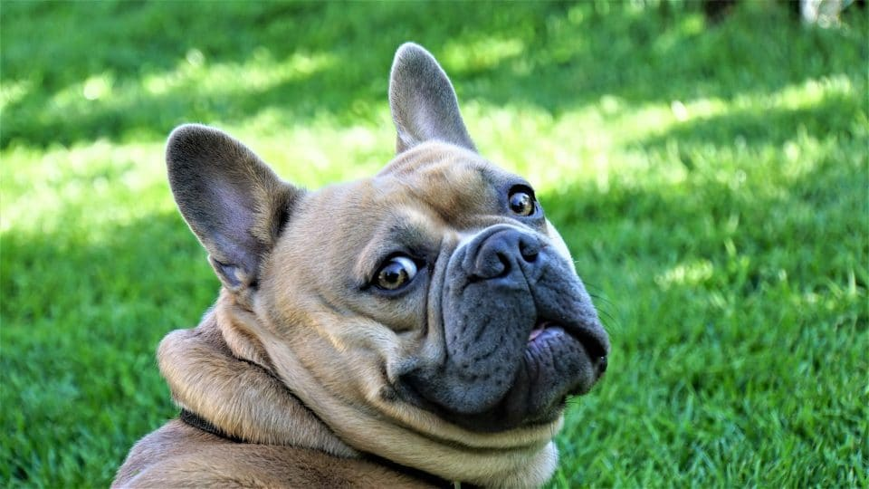 that funny french bulldog personality shines through in this frenchie's quizzical expresssion