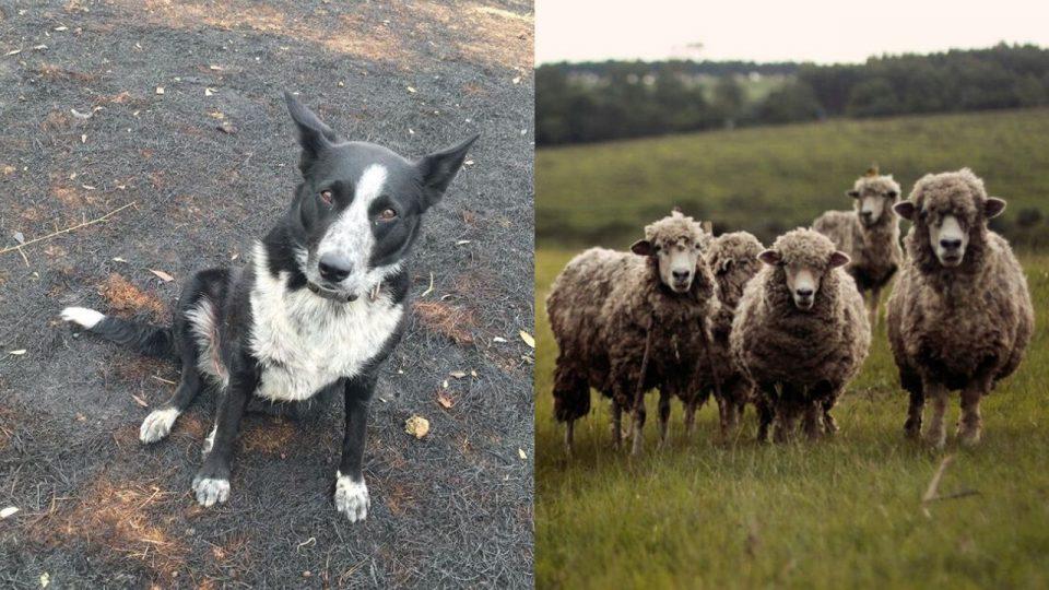 dog saves sheep from australian wildfire
