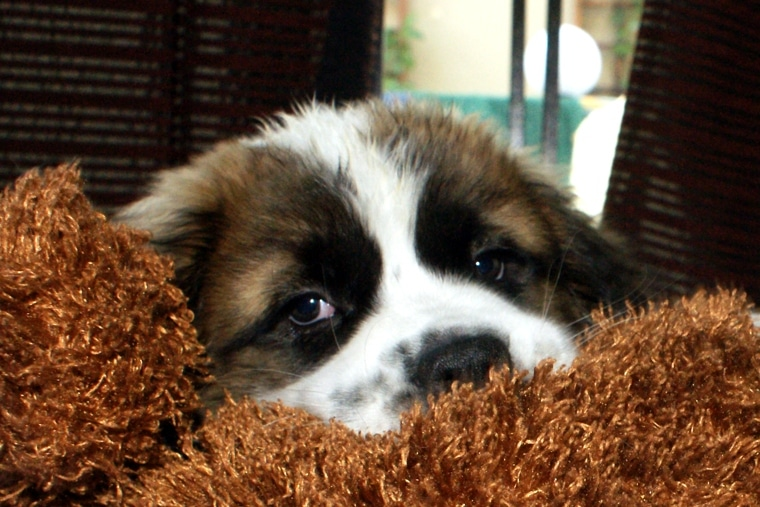 Saint Bernard puppies can be lazy and calm, like this guy