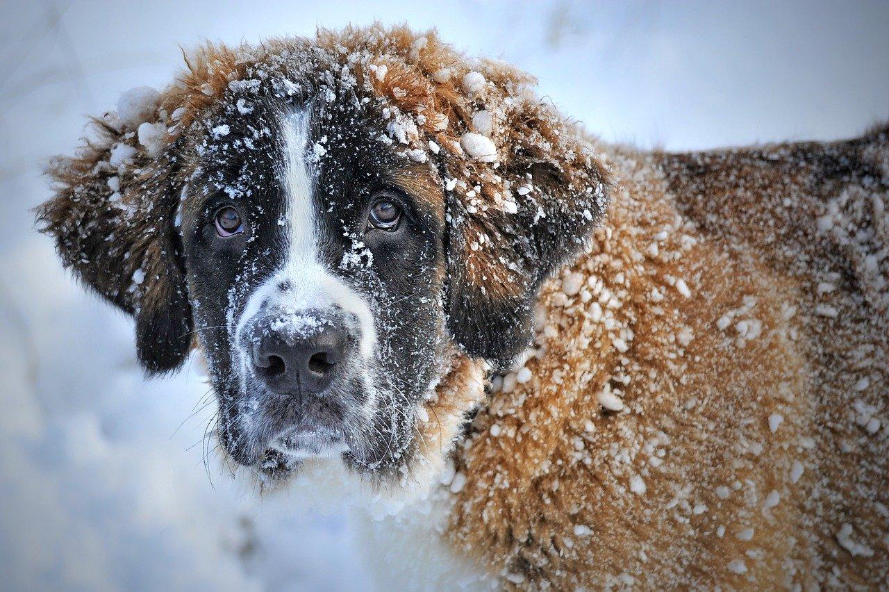 Saint Bernard puppies grow big quickly