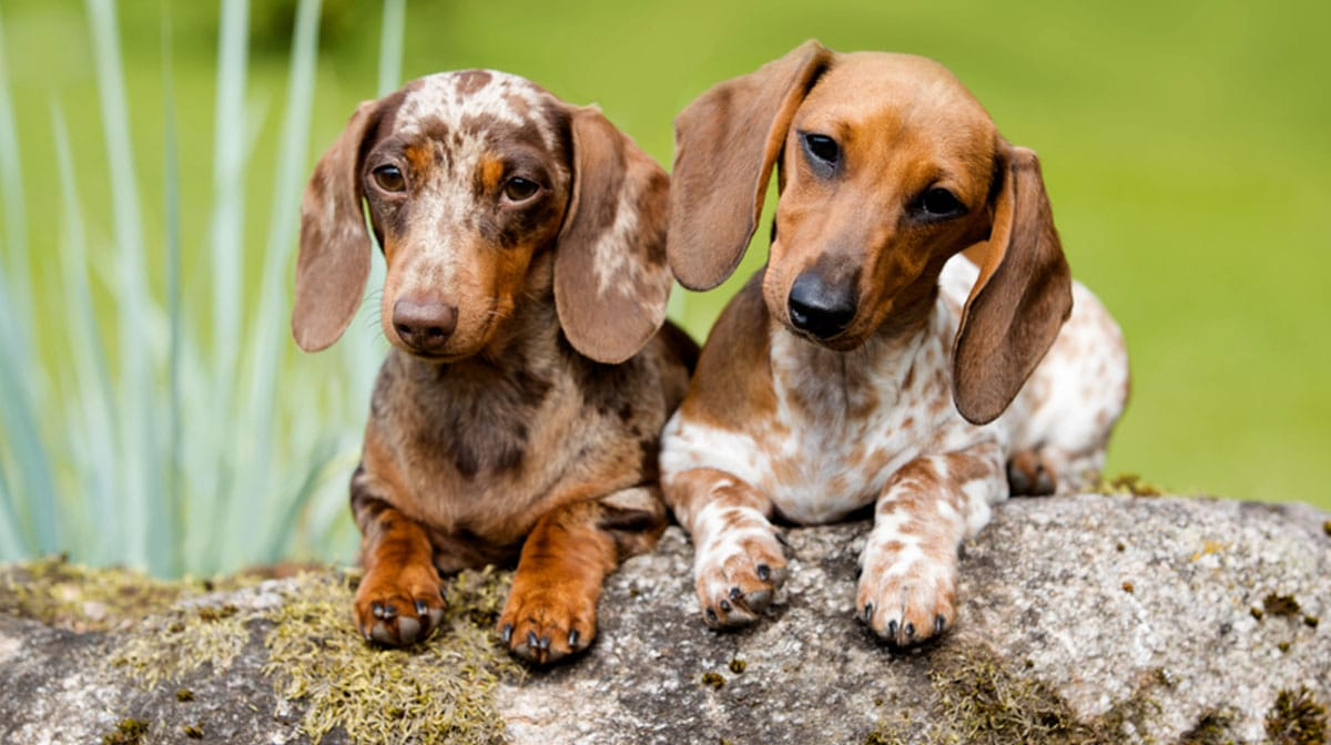 Top 150 Dachshund Names The Dog